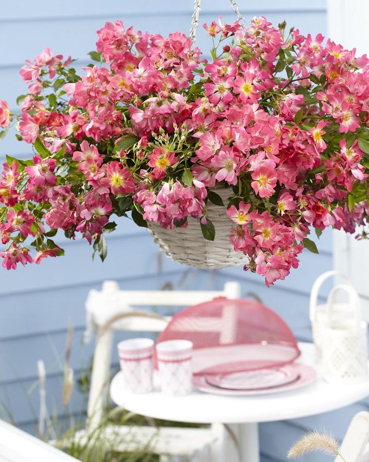 balconi fioriti esemplare rosa rampicante