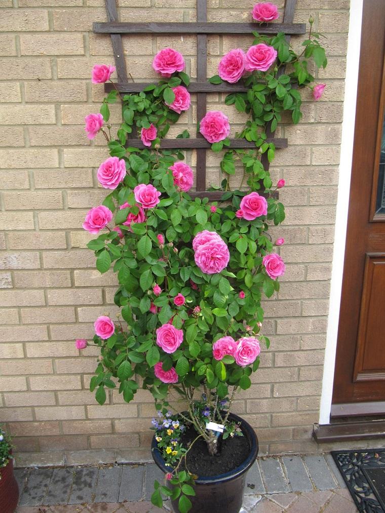 balconi fioriti rosa rampicante