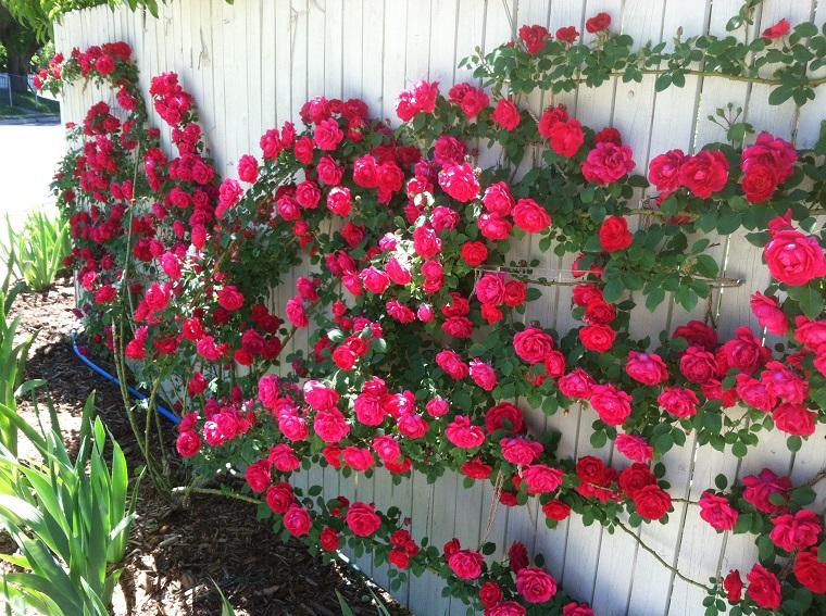 balconi fioriti splendide rose fucsia rampicanti