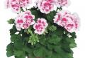Fiori da balcone: le specie più belle ed adatte ad essere coltivate in vaso
