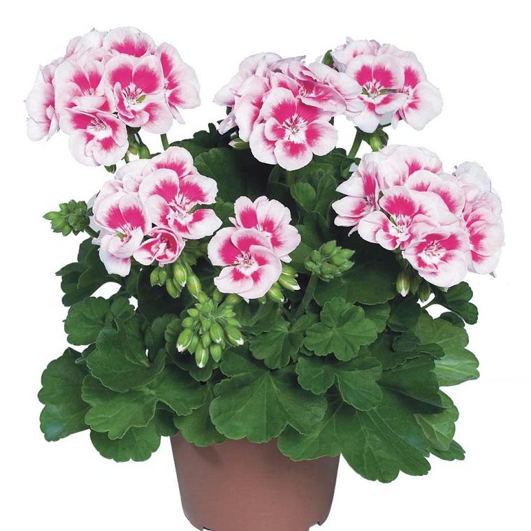 fiori da balcone geranio bianco rosa
