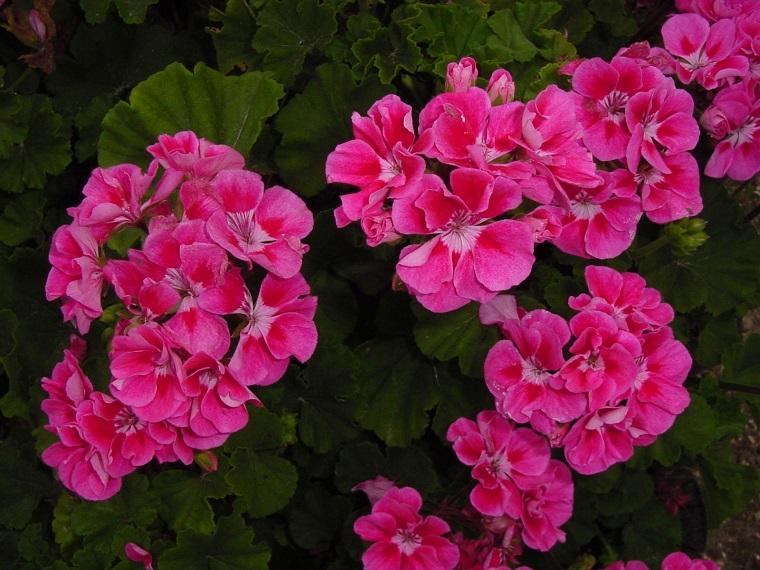 fiori da balcone geranio fucsia