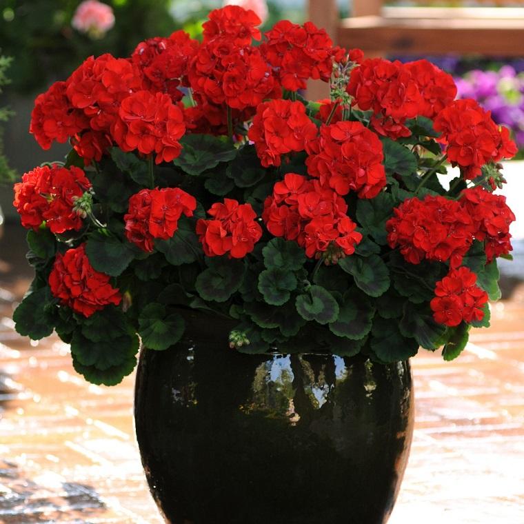 fiori da balcone geranio rosso
