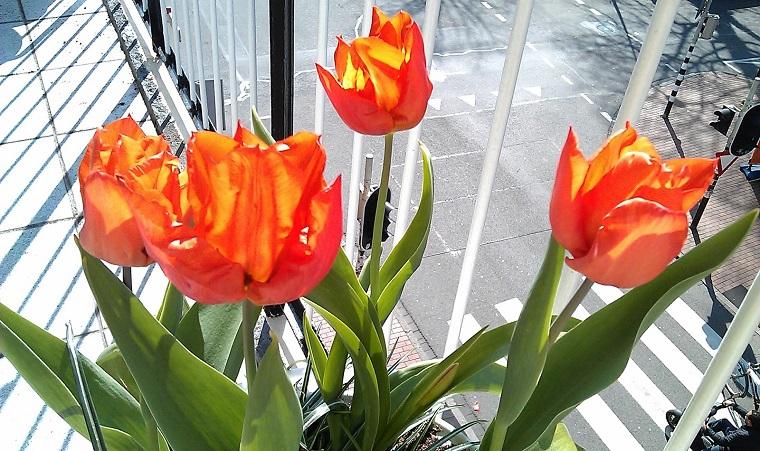 fiori da balcone tulipani arancioni