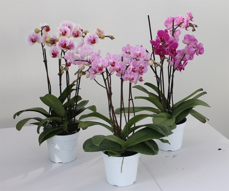 idea piante da interno orchidea