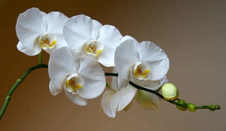 idea piante tenere casa orchidea bianca