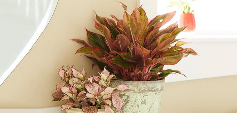 pianta da appartamento aglaonema sfumature rosse vaso vintage