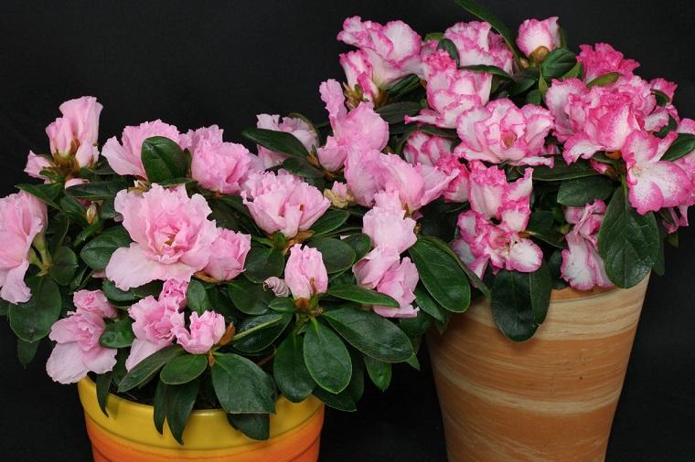 piante da appartamento Rhododendron simsii vaso