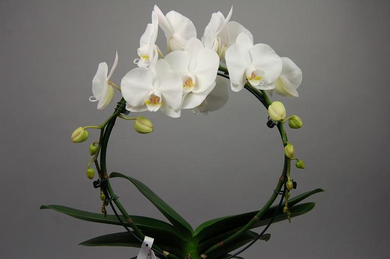 piante da inetrno composizione orchidea colore bianco