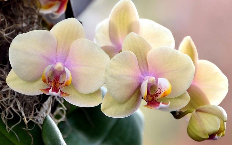 soluzione piante interno orchidea color crema