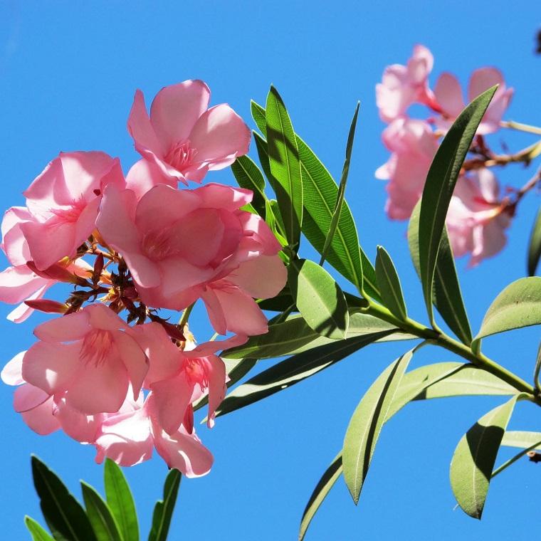 Nerium-oleander-idea-giardino