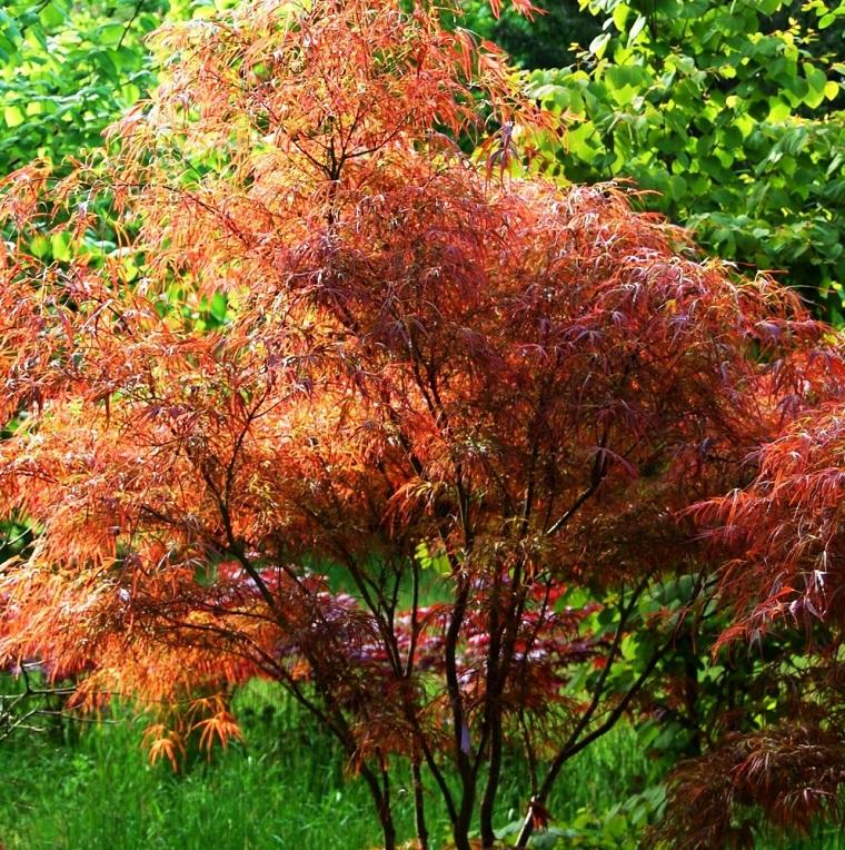 alberi-a-crescita-rapida-esemplare-acero