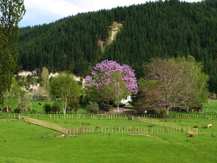 alberi-a-crescita-rapida-esemplare-paulownia