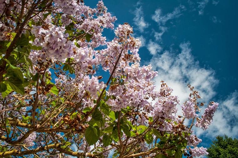 alberi-a-crescita-rapida-fronde-paulownia