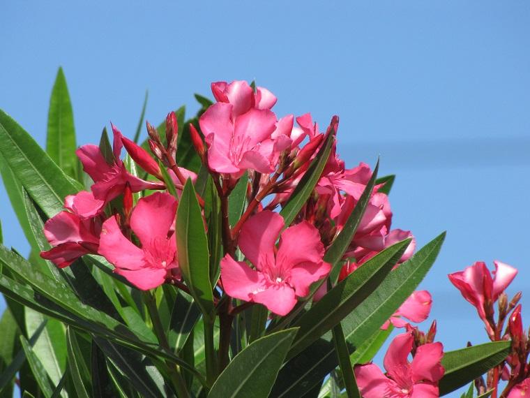 alberi crescita veloce-focus-fiori-oleandro