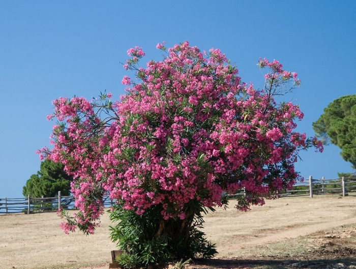 rampicanti sempreverdi veloci. elegant quercia rossa with ... - Fiori Cascanti Crescita Veloce