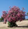 alberi-crescita-veloce-magnifico-oleandro