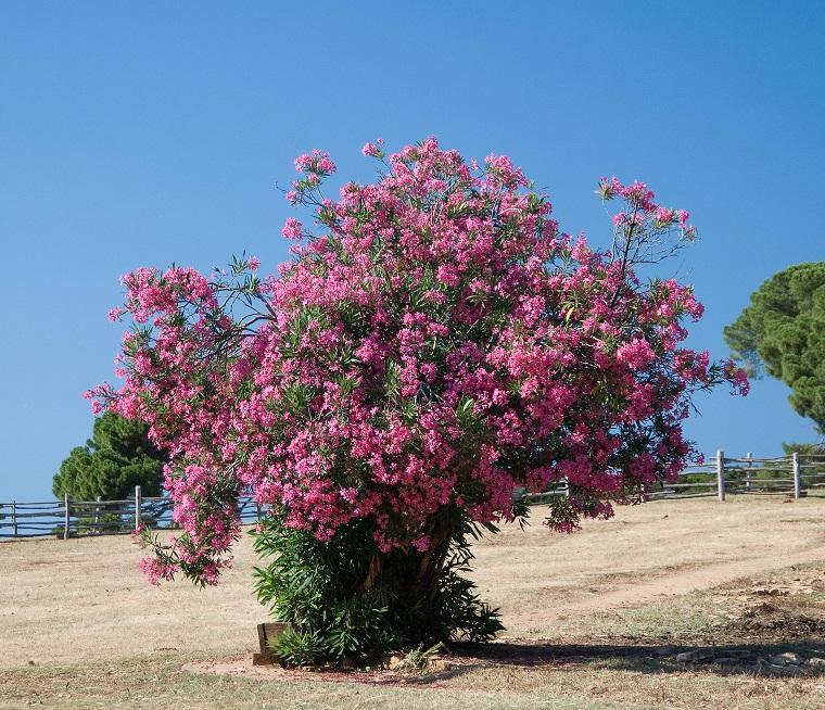 alberi crescita veloce-magnifico-oleandro