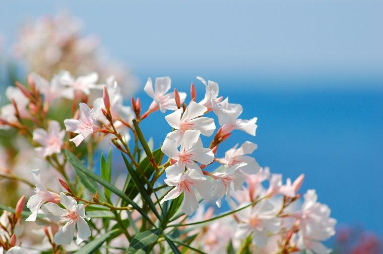 alberi crescita veloce-oleandro-fiori-bianchi