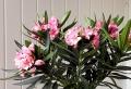Alberi crescita veloce: una selezione delle specie più decorative