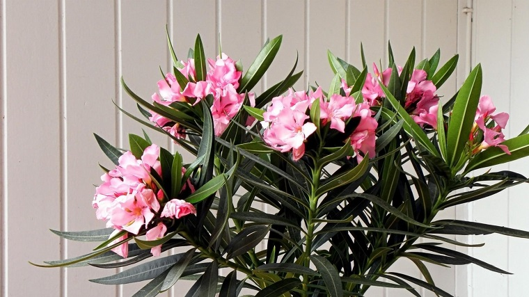 alberi crescita veloce-oleandro-fiori-rosa
