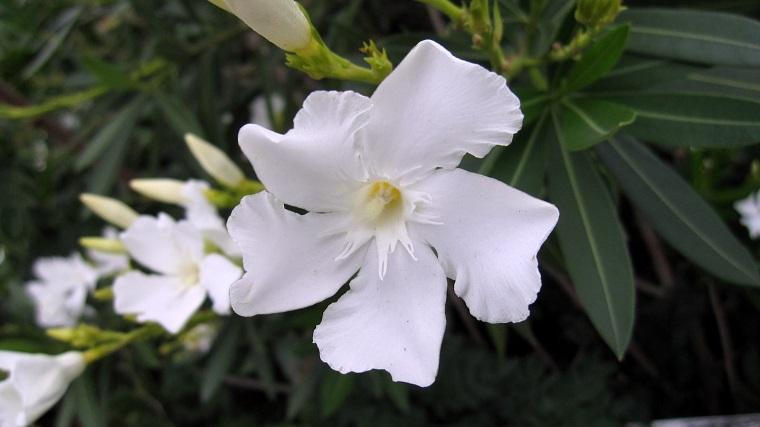 nerium-oleander-colore-bianco-pianta