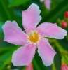 oleandro-colore-rosa-pianta-giardino