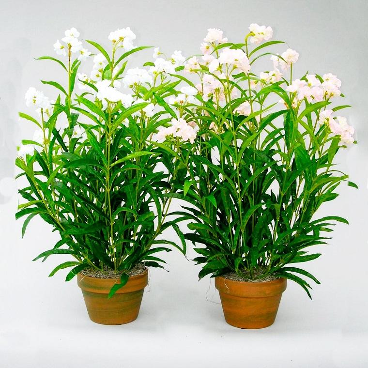 oleandro-pianta-colore-bianco-vaso