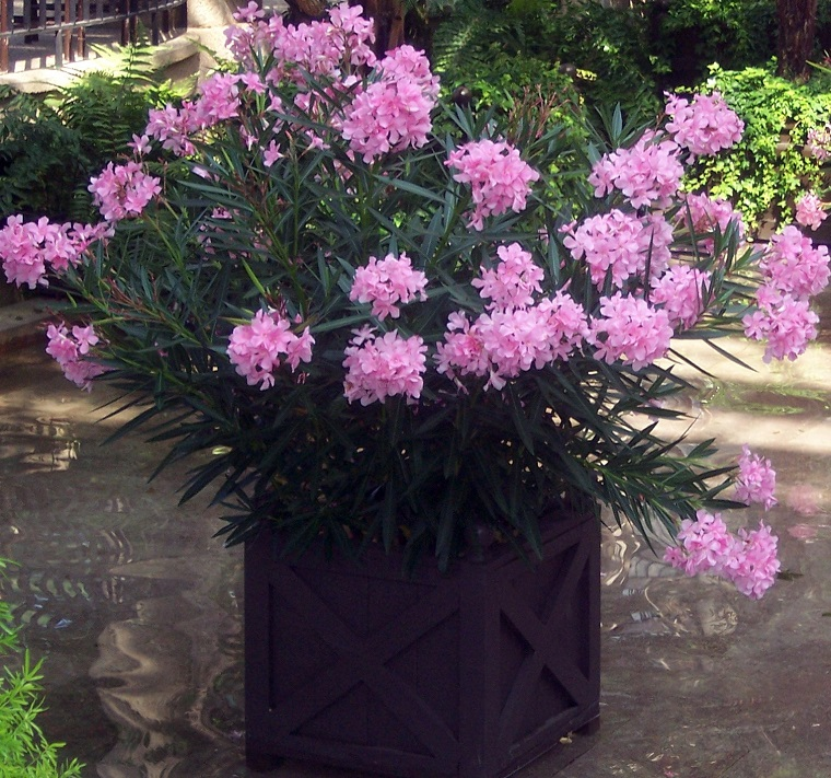 oleandro-pianta-colore-rosa-vaso-grande