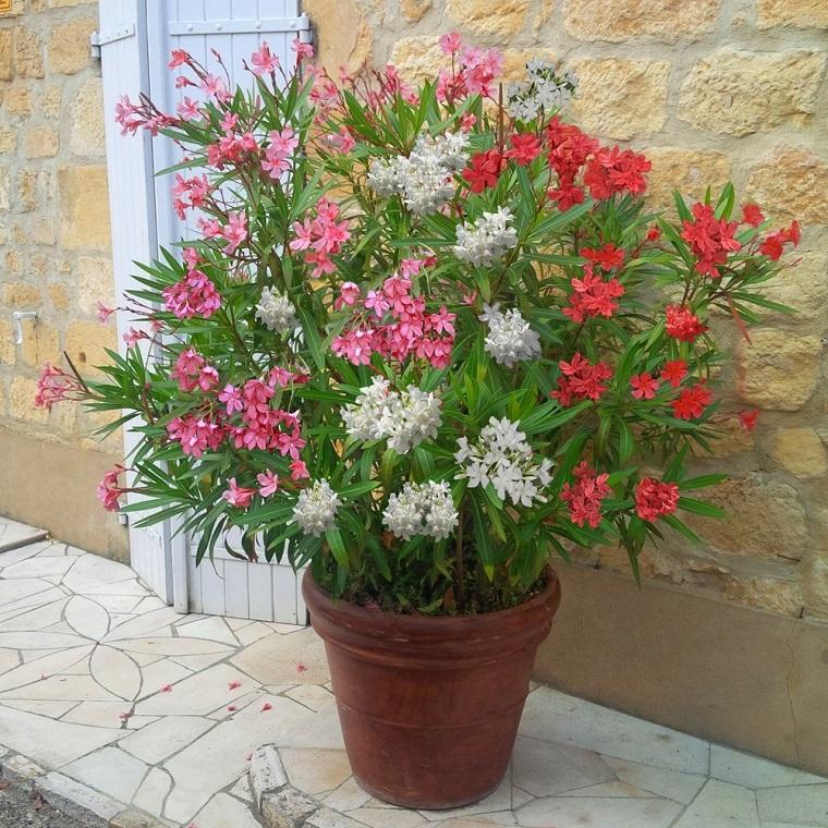 oleandro-pianta-idea-vaso-molto-grande