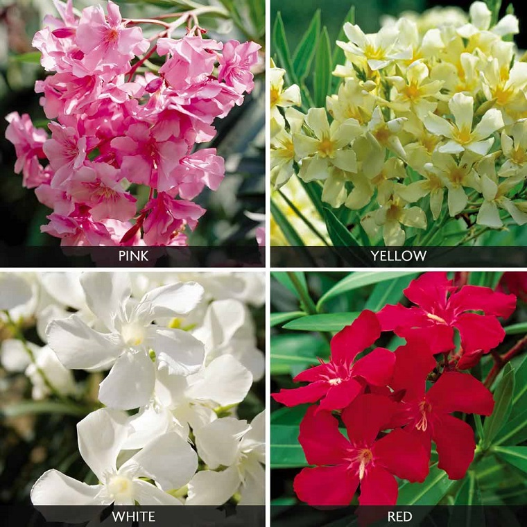 oleandro-pianta-quattro-colori-pianta