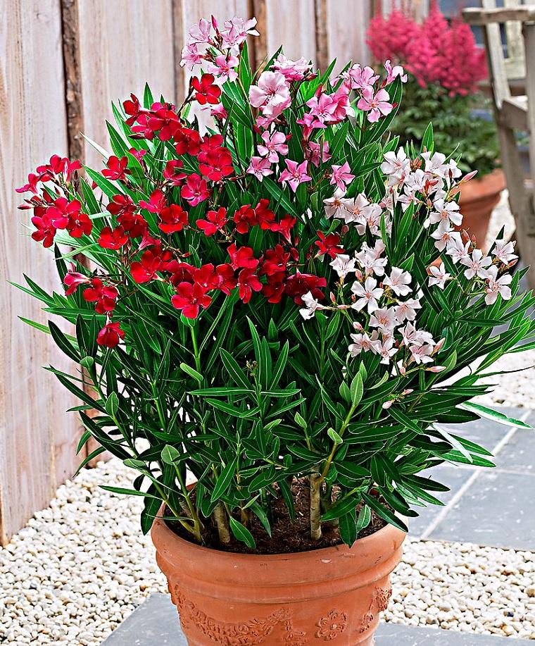 oleandro-pianta-tre-colori-vaso
