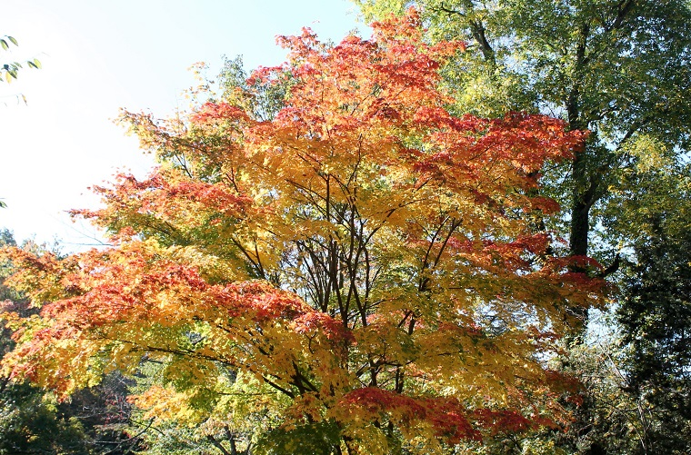 piante-a-crescita-rapida-acero-colori-autunnali