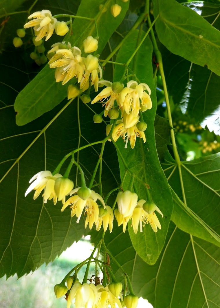 piante-a-crescita-rapida-focus-fiori-tiglio