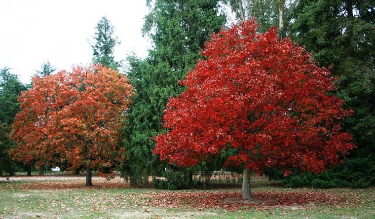 piante-a-crescita-rapida-quercia-rossa