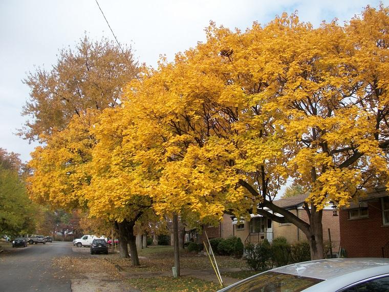 piante-crescita-rapida-esemplari-acero-autunno
