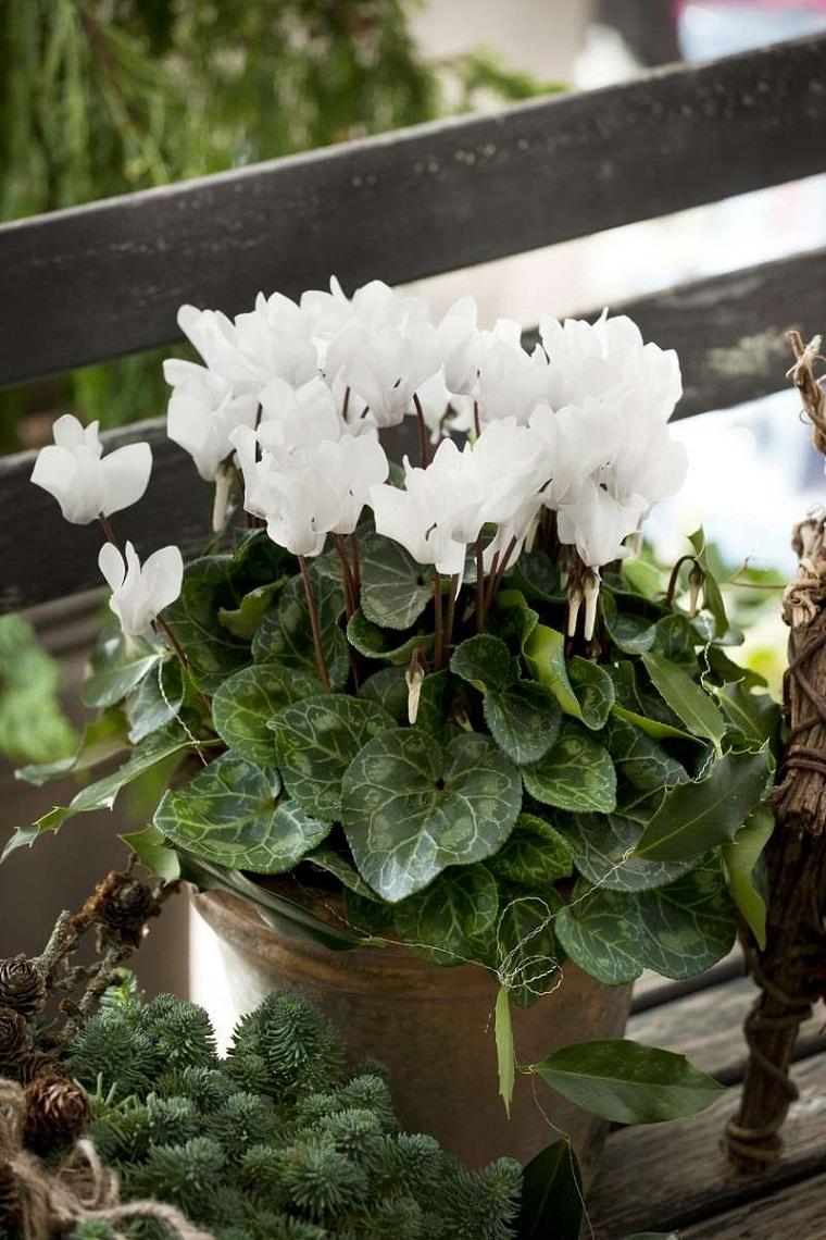 piante-da-balcone-ciclamini-bianchi