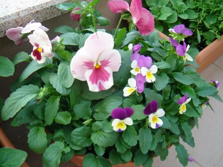 piante-da-balcone-idea-violette