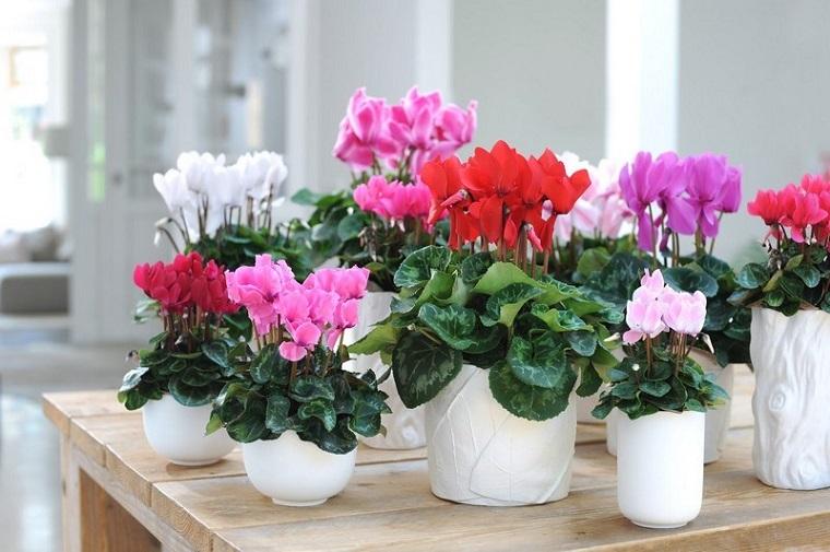 piante per balconi-ciclamini-colorati