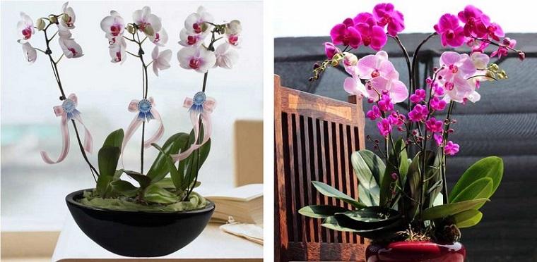 piante per balconi-orchidea-rosa-bianca