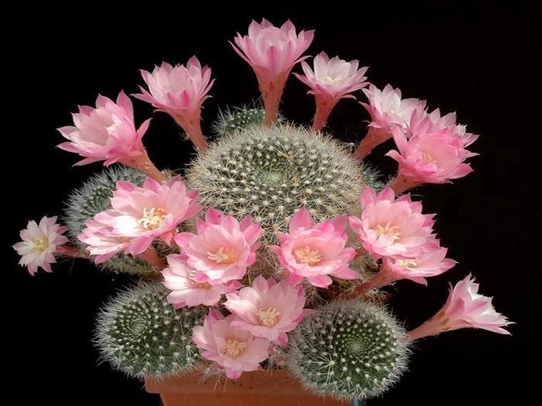 fiori-da-appartamento-cactus-deserto