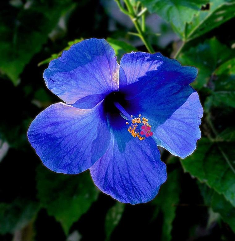 fiori-da-appartamento-ibisco-blu