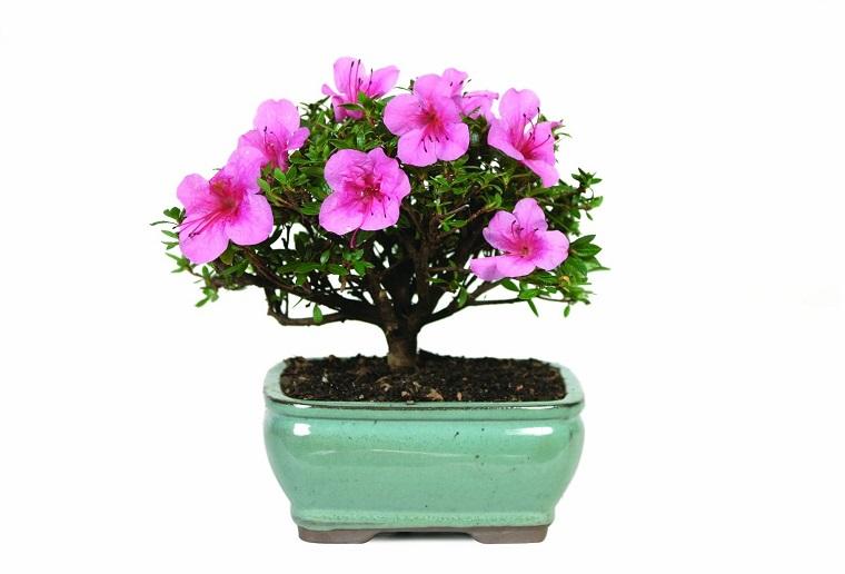 fiori-da-appartamento-ibisco-bonsai