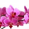 fiori-da-appartamento-orchidee-fucsia