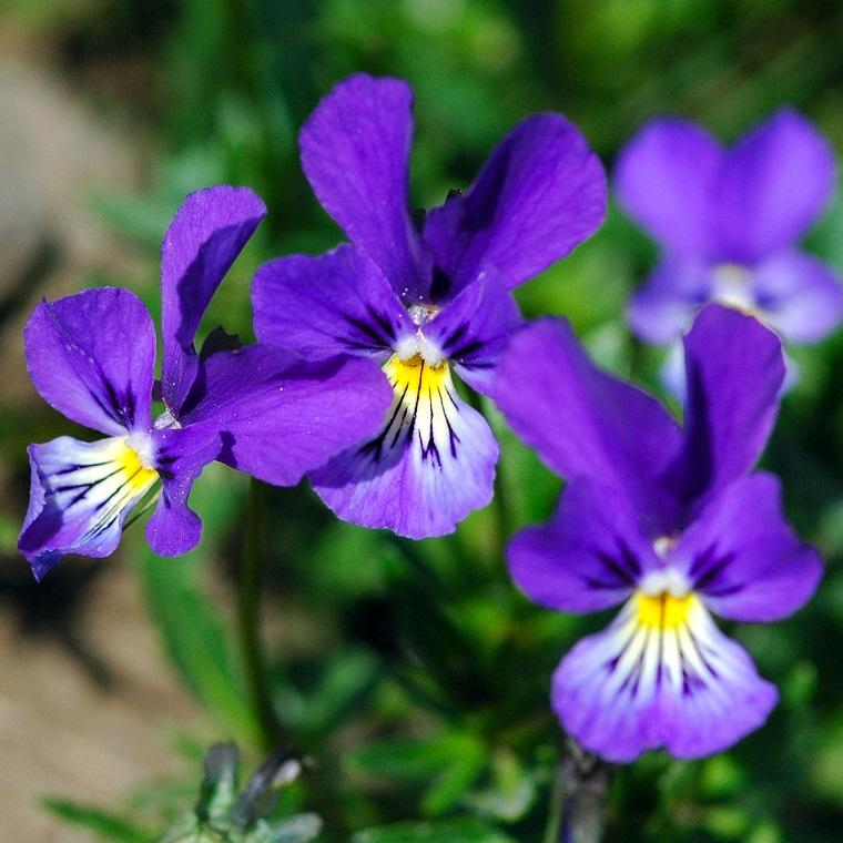 fiori-da-appartamento-violette-tricolore