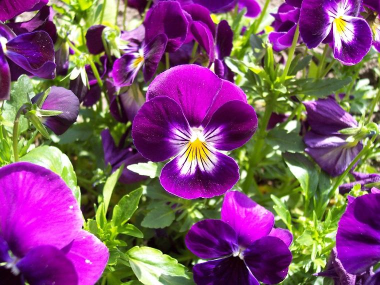 fiori-da-appartamento-violette