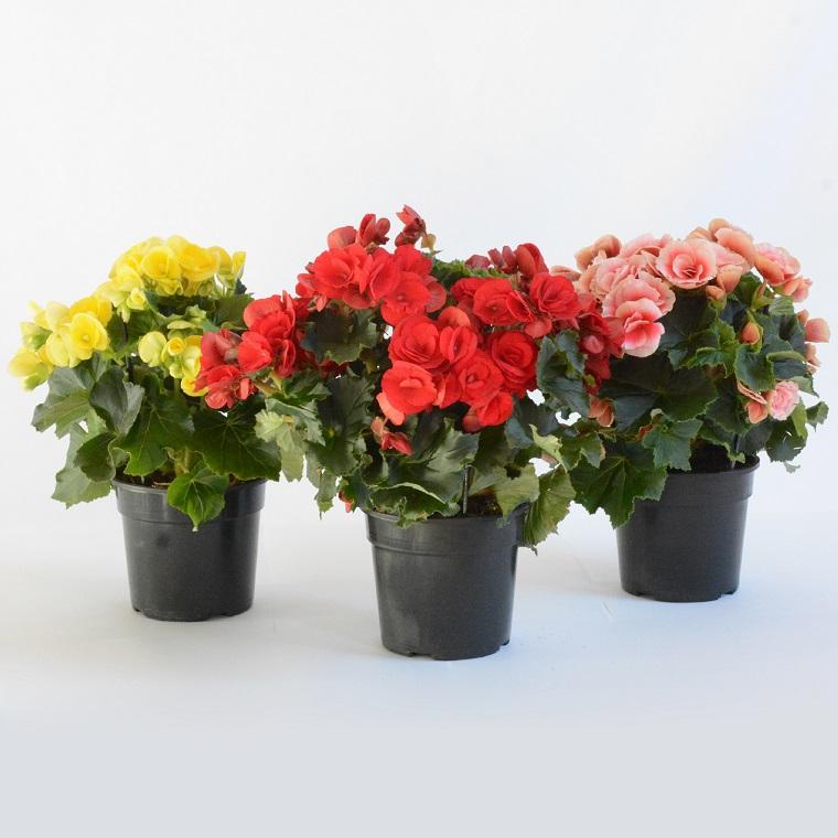 fiori da interno-begonie-tre-colori