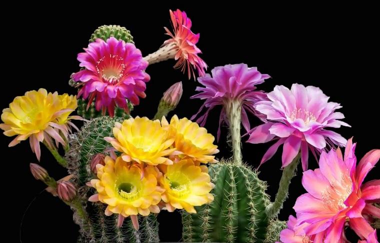 fiori-da-interno-cactus