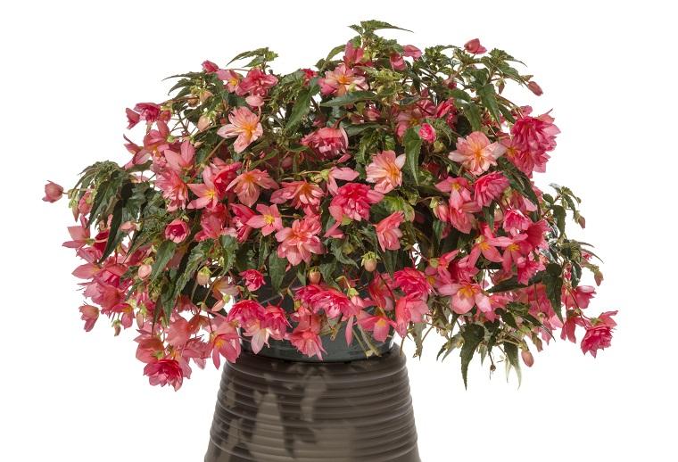 Piante Da Appartamento Begonia.Fiori Da Interno Ecco Alcune Varieta Perfette Per L Appartamento
