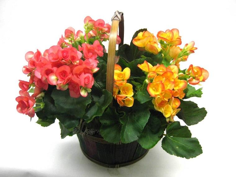 piante-da-interno-con-fiori-begania